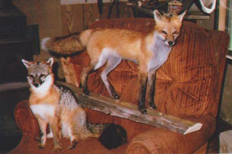 This Red Fox Mounted for Mark Tarkowski -16