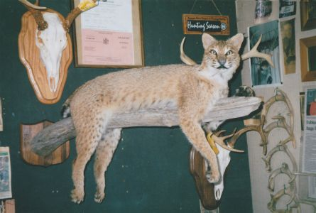 Bobcats Are Increasing in Numbers Statewide
